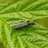 Oedemera virescens - Laibavabalis | Fotografijos autorius : Romas Ferenca | © Macrogamta.lt | Šis tinklapis priklauso bendruomenei kuri domisi makro fotografija ir fotografuoja gyvąjį makro pasaulį.