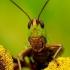 Chorthippus dorsatus - Ganyklinis skėriukas | Fotografijos autorius : Romas Ferenca | © Macrogamta.lt | Šis tinklapis priklauso bendruomenei kuri domisi makro fotografija ir fotografuoja gyvąjį makro pasaulį.