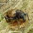 Otiorhynchus raucus - Įvairiaėdis pjovėjas | Fotografijos autorius : Romas Ferenca | © Macrogamta.lt | Šis tinklapis priklauso bendruomenei kuri domisi makro fotografija ir fotografuoja gyvąjį makro pasaulį.