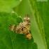 Oxyna flavipennis - Margasparnė | Fotografijos autorius : Romas Ferenca | © Macrogamta.lt | Šis tinklapis priklauso bendruomenei kuri domisi makro fotografija ir fotografuoja gyvąjį makro pasaulį.