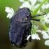 Kvapusis auksavabalis - Oxythyrea funesta | Fotografijos autorius : Romas Ferenca | © Macrogamta.lt | Šis tinklapis priklauso bendruomenei kuri domisi makro fotografija ir fotografuoja gyvąjį makro pasaulį.