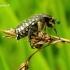 Oxythyrea funesta - Kvapusis auksavabalis | Fotografijos autorius : Romas Ferenca | © Macrogamta.lt | Šis tinklapis priklauso bendruomenei kuri domisi makro fotografija ir fotografuoja gyvąjį makro pasaulį.