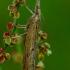 Pediasia contaminella - Dvidryžis varpinukas   Fotografijos autorius : Romas Ferenca   © Macrogamta.lt   Šis tinklapis priklauso bendruomenei kuri domisi makro fotografija ir fotografuoja gyvąjį makro pasaulį.
