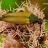 Plaukuotoji strangalija - Pedostrangalia pubescens | Fotografijos autorius : Romas Ferenca | © Macrogamta.lt | Šis tinklapis priklauso bendruomenei kuri domisi makro fotografija ir fotografuoja gyvąjį makro pasaulį.