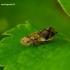 Philaenus spumarius - Paprastoji seiliūgė | Fotografijos autorius : Romas Ferenca | © Macrogamta.lt | Šis tinklapis priklauso bendruomenei kuri domisi makro fotografija ir fotografuoja gyvąjį makro pasaulį.
