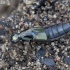 Trumpasparnis - Philonthus rotundicollis | Fotografijos autorius : Romas Ferenca | © Macrogamta.lt | Šis tinklapis priklauso bendruomenei kuri domisi makro fotografija ir fotografuoja gyvąjį makro pasaulį.
