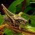 Pholidoptera griseoaptera - Keršasis žiogas | Fotografijos autorius : Romas Ferenca | © Macrogamta.lt | Šis tinklapis priklauso bendruomenei kuri domisi makro fotografija ir fotografuoja gyvąjį makro pasaulį.