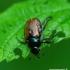 Phyllopertha horticola - Grikinukas / Sodinis grambuoliukas | Fotografijos autorius : Romas Ferenca | © Macrogamta.lt | Šis tinklapis priklauso bendruomenei kuri domisi makro fotografija ir fotografuoja gyvąjį makro pasaulį.