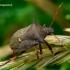 Picromerus bidens - Dvispyglė skydblakė   Fotografijos autorius : Romas Ferenca   © Macrogamta.lt   Šis tinklapis priklauso bendruomenei kuri domisi makro fotografija ir fotografuoja gyvąjį makro pasaulį.
