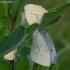 Ropiniai baltukai - Pieris rapae | Fotografijos autorius : Romas Ferenca | © Macrogamta.lt | Šis tinklapis priklauso bendruomenei kuri domisi makro fotografija ir fotografuoja gyvąjį makro pasaulį.