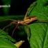 Paprastasis guolininkas - Pisaura mirabilis | Fotografijos autorius : Romas Ferenca | © Macrogamta.lt | Šis tinklapis priklauso bendruomenei kuri domisi makro fotografija ir fotografuoja gyvąjį makro pasaulį.