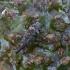 Kankorėžinis smaliukas - Pissodes validirostris | Fotografijos autorius : Romas Ferenca | © Macrogamta.lt | Šis tinklapis priklauso bendruomenei kuri domisi makro fotografija ir fotografuoja gyvąjį makro pasaulį.