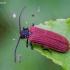 Žiedvabalis - Pyropterus nigroruber | Fotografijos autorius : Romas Ferenca | © Macrogamta.lt | Šis tinklapis priklauso bendruomenei kuri domisi makro fotografija ir fotografuoja gyvąjį makro pasaulį.