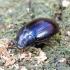 Violetinis juodvabalis - Platydema violaceum | Fotografijos autorius : Romas Ferenca | © Macrogamta.lt | Šis tinklapis priklauso bendruomenei kuri domisi makro fotografija ir fotografuoja gyvąjį makro pasaulį.