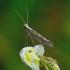 Plutella xylostella - Kopūstinė kandis | Fotografijos autorius : Romas Ferenca | © Macrogamta.lt | Šis tinklapis priklauso bendruomenei kuri domisi makro fotografija ir fotografuoja gyvąjį makro pasaulį.