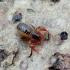 Pseudoskorpionas - Neobisiidae  | Fotografijos autorius : Romas Ferenca | © Macrogamta.lt | Šis tinklapis priklauso bendruomenei kuri domisi makro fotografija ir fotografuoja gyvąjį makro pasaulį.