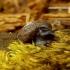 Pseudotrichia rubiginosa - Šeriuotoji rūdė | Fotografijos autorius : Romas Ferenca | © Macrogamta.lt | Šis tinklapis priklauso bendruomenei kuri domisi makro fotografija ir fotografuoja gyvąjį makro pasaulį.
