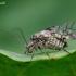 Didysis šiengraužis - Psococerastis gibbosa | Fotografijos autorius : Romas Ferenca | © Macrogamta.lt | Šis tinklapis priklauso bendruomenei kuri domisi makro fotografija ir fotografuoja gyvąjį makro pasaulį.