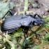 Juodasis smiltžygis - Pterostichus niger | Fotografijos autorius : Romas Ferenca | © Macrogamta.lt | Šis tinklapis priklauso bendruomenei kuri domisi makro fotografija ir fotografuoja gyvąjį makro pasaulį.