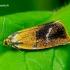 Ptycholoma lecheana - Švinajuostis lapsukis | Fotografijos autorius : Romas Ferenca | © Macrogamta.lt | Šis tinklapis priklauso bendruomenei kuri domisi makro fotografija ir fotografuoja gyvąjį makro pasaulį.