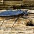 Reduvius personatus - Tamsioji plėšriablakė | Fotografijos autorius : Romas Ferenca | © Macrogamta.lt | Šis tinklapis priklauso bendruomenei kuri domisi makro fotografija ir fotografuoja gyvąjį makro pasaulį.