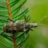 Dygusis ragijus - Rhagium mordax | Fotografijos autorius : Romas Ferenca | © Macrogamta.lt | Šis tinklapis priklauso bendruomenei kuri domisi makro fotografija ir fotografuoja gyvąjį makro pasaulį.