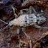Briaunotasis ragijus - Rhagium inquisitor  | Fotografijos autorius : Romas Ferenca | © Macrogamta.lt | Šis tinklapis priklauso bendruomenei kuri domisi makro fotografija ir fotografuoja gyvąjį makro pasaulį.