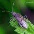 Rhopalus maculatus - Geltonpilvė kampuotblakė | Fotografijos autorius : Romas Ferenca | © Macrogamta.lt | Šis tinklapis priklauso bendruomenei kuri domisi makro fotografija ir fotografuoja gyvąjį makro pasaulį.
