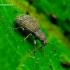 Sciaphilus asperatus - Raktažolinis straubliukas | Fotografijos autorius : Romas Ferenca | © Macrogamta.lt | Šis tinklapis priklauso bendruomenei kuri domisi makro fotografija ir fotografuoja gyvąjį makro pasaulį.