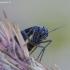 Daiginis uodelis - Sciara analis | Fotografijos autorius : Romas Ferenca | © Macrogamta.lt | Šis tinklapis priklauso bendruomenei kuri domisi makro fotografija ir fotografuoja gyvąjį makro pasaulį.