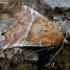 Gluosninis žieminukas - Scoliopteryx libatrix   Fotografijos autorius : Romas Ferenca   © Macrogamta.lt   Šis tinklapis priklauso bendruomenei kuri domisi makro fotografija ir fotografuoja gyvąjį makro pasaulį.