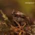 Sepedophilus marshami - Trumpasparnis | Fotografijos autorius : Romas Ferenca | © Macrogamta.lt | Šis tinklapis priklauso bendruomenei kuri domisi makro fotografija ir fotografuoja gyvąjį makro pasaulį.