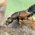 Trumpasparnis - Staphylinus dimidiaticornis | Fotografijos autorius : Romas Ferenca | © Macrogamta.lt | Šis tinklapis priklauso bendruomenei kuri domisi makro fotografija ir fotografuoja gyvąjį makro pasaulį.