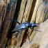 Alksninis grakštenis - Stenurella nigra | Fotografijos autorius : Romas Ferenca | © Macrogamta.lt | Šis tinklapis priklauso bendruomenei kuri domisi makro fotografija ir fotografuoja gyvąjį makro pasaulį.