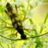 Keturjuostė strangalija - Strangalia [=Strangalina] attenuata | Fotografijos autorius : Romas Ferenca | © Macrogamta.lt | Šis tinklapis priklauso bendruomenei kuri domisi makro fotografija ir fotografuoja gyvąjį makro pasaulį.
