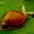 Succinea putris - Didžioji gintarė   Fotografijos autorius : Romas Ferenca   © Macrogamta.lt   Šis tinklapis priklauso bendruomenei kuri domisi makro fotografija ir fotografuoja gyvąjį makro pasaulį.