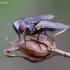 Mėsmusė - Metopia argyrocephala | Fotografijos autorius : Romas Ferenca | © Macrogamta.lt | Šis tinklapis priklauso bendruomenei kuri domisi makro fotografija ir fotografuoja gyvąjį makro pasaulį.