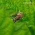 Tanymecus palliatus - Pilkasis runkelinis straubliukas | Fotografijos autorius : Romas Ferenca | © Macrogamta.lt | Šis tinklapis priklauso bendruomenei kuri domisi makro fotografija ir fotografuoja gyvąjį makro pasaulį.