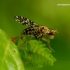 Trypetoptera punctulata - Sraigžudė | Fotografijos autorius : Romas Ferenca | © Macrogamta.lt | Šis tinklapis priklauso bendruomenei kuri domisi makro fotografija ir fotografuoja gyvąjį makro pasaulį.