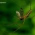 Tetragnatha extensa - Laibasis storažandis   Fotografijos autorius : Romas Ferenca   © Macrogamta.lt   Šis tinklapis priklauso bendruomenei kuri domisi makro fotografija ir fotografuoja gyvąjį makro pasaulį.