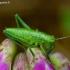 Tettigoniidae - Žiogas   Fotografijos autorius : Romas Ferenca   © Macrogamta.lt   Šis tinklapis priklauso bendruomenei kuri domisi makro fotografija ir fotografuoja gyvąjį makro pasaulį.