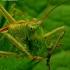 Tettigonia cantans - Žiogas giesmininkas | Fotografijos autorius : Romas Ferenca | © Macrogamta.lt | Šis tinklapis priklauso bendruomenei kuri domisi makro fotografija ir fotografuoja gyvąjį makro pasaulį.