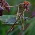 Žiogas giesmininkas - Tettigonia cantans | Fotografijos autorius : Romas Ferenca | © Macrogamta.lt | Šis tinklapis priklauso bendruomenei kuri domisi makro fotografija ir fotografuoja gyvąjį makro pasaulį.