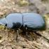 Juodasis afodijus - Teuchestes (Aphodius) fossor | Fotografijos autorius : Romas Ferenca | © Macrogamta.lt | Šis tinklapis priklauso bendruomenei kuri domisi makro fotografija ir fotografuoja gyvąjį makro pasaulį.