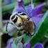 Raštuotasis auksavabalis - Trichius fasciatus | Fotografijos autorius : Romas Ferenca | © Macrogamta.lt | Šis tinklapis priklauso bendruomenei kuri domisi makro fotografija ir fotografuoja gyvąjį makro pasaulį.
