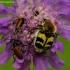 Raštuotasis auksavabalis - Trichius fasciatus   Fotografijos autorius : Romas Ferenca   © Macrogamta.lt   Šis tinklapis priklauso bendruomenei kuri domisi makro fotografija ir fotografuoja gyvąjį makro pasaulį.