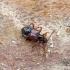 Graibvabalis - Tyrus mucronatus | Fotografijos autorius : Romas Ferenca | © Macrogamta.lt | Šis tinklapis priklauso bendruomenei kuri domisi makro fotografija ir fotografuoja gyvąjį makro pasaulį.