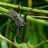Pisaura mirabilis - Paprastasis guolininkas | Fotografijos autorius : Romas Ferenca | © Macrogamta.lt | Šis tinklapis priklauso bendruomenei kuri domisi makro fotografija ir fotografuoja gyvąjį makro pasaulį.