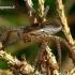 Dolomedes fimbriatus - Juostuotasis plūdvoris | Fotografijos autorius : Romas Ferenca | © Macrogamta.lt | Šis tinklapis priklauso bendruomenei kuri domisi makro fotografija ir fotografuoja gyvąjį makro pasaulį.