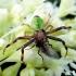 Ebrechtella tricuspidata - Lapinis žiedulis | Fotografijos autorius : Romas Ferenca | © Macrogamta.lt | Šis tinklapis priklauso bendruomenei kuri domisi makro fotografija ir fotografuoja gyvąjį makro pasaulį.
